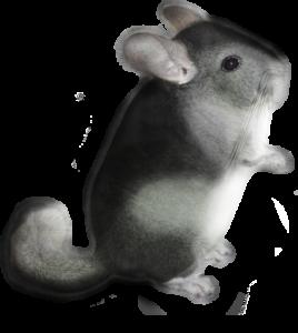 Der kleine Chinchilla Regalito